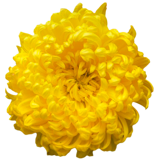Chrysanthemum Transparent Free PNG