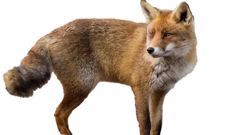 Fox Download Free PNG