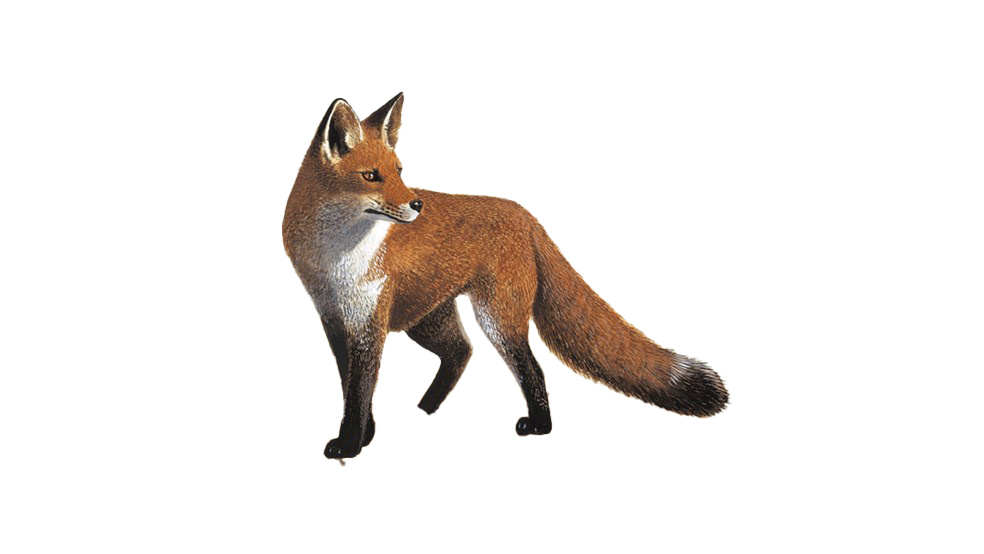 Fox PNG Photo Image