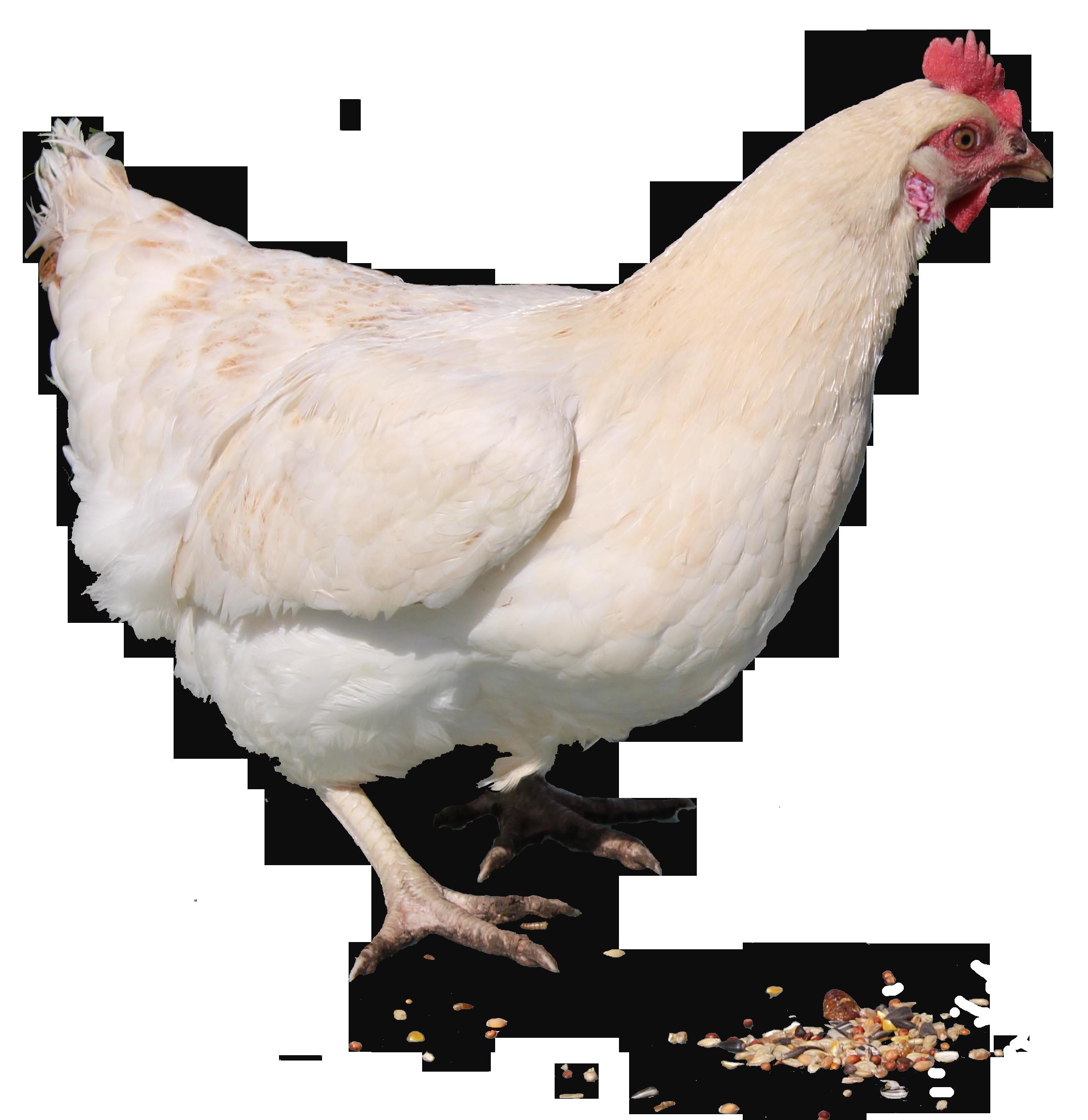 Chicken Standing PNG