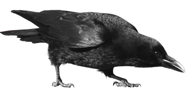 Crow Eating PNG