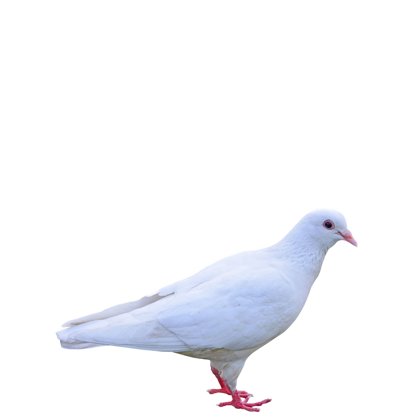 Columbidae PNG Background
